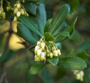 arbutus_flower